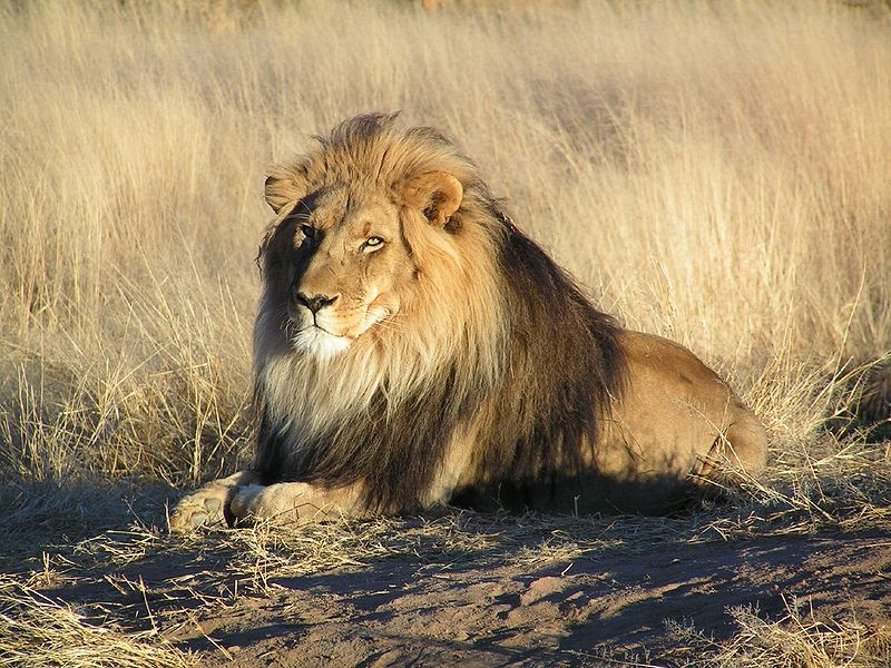 African Lion …click on the images for a larger view. Image ...