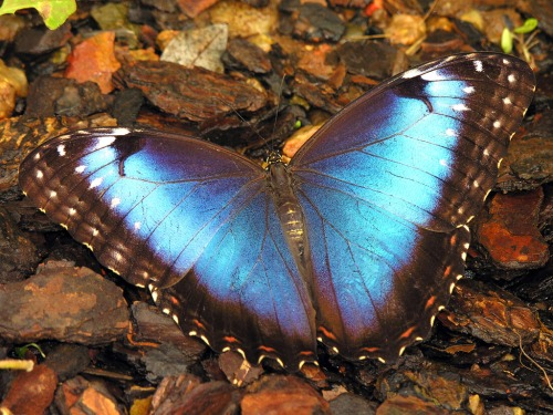 blue butterfly morpho
