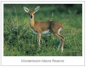 wonderboom-steenbokkie