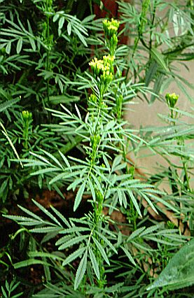 Kakiebos_plant